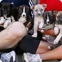 Adopt A Pet :: Carmilla Puppies - Males - San Diego, CA