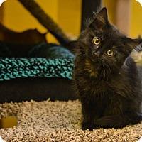 Adopt A Pet :: Kittens! - Pittsburg, KS