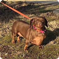 Adopt A Pet :: Gracie - Harrisonburg, VA
