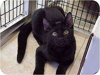 Domestic Shorthair Cat for adoption in Deerfield Beach, Florida - Castaway