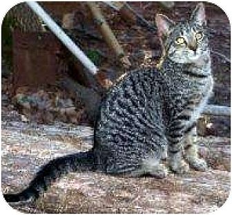 Domestic Shorthair Cat for adoption in Winnsboro, South Carolina - Shotsey