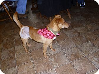 Dachshund/Chihuahua Mix Dog for adoption in Lawndale, North Carolina - Troy
