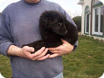 Newfoundland/Australian Shepherd Mix Puppy for adoption in Germantown, Maryland - Teddy Bear