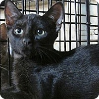 Adopt A Pet :: Bagheera - Seminole, FL