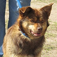 Australian Shepherd/Corgi Mix Dog for adoption in Greeley, Colorado - Harlie