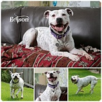 Adopt A Pet :: Edison - Sioux Falls, SD