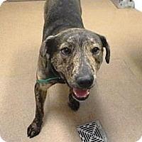 Adopt A Pet :: Lucas - Las Vegas, NV
