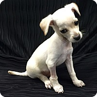 Adopt A Pet :: Snickers Puppy - Encino, CA