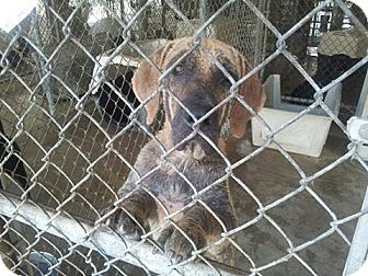 Bloodhound Dog for adoption in Maryville, Tennessee - Precious - Update!