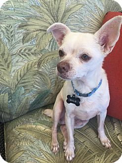 Chihuahua Mix Dog for adoption in Gilbert, Arizona - Milo