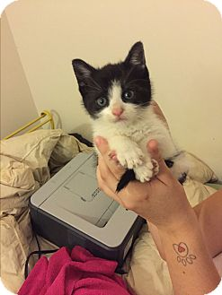 Domestic Shorthair Kitten for adoption in Marlton, New Jersey - Wednesday