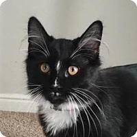 Domestic Mediumhair Cat for adoption in Midvale, Utah - Figaro