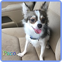 Chihuahua Mix Dog for adoption in Hollywood, Florida - Paco
