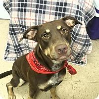Adopt A Pet :: Ginger - Hopewell, VA