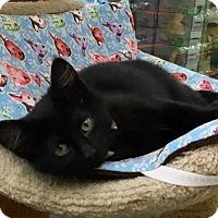 Adopt A Pet :: Inky - Warren, OH