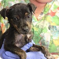 Adopt A Pet :: Nikki - Philadelphia, PA