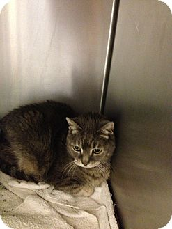 Domestic Shorthair Cat for adoption in Ogden, Utah - Regal