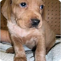 Adopt A Pet :: Dolce - Novi, MI