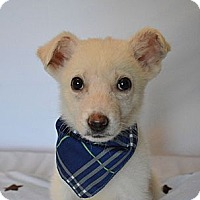 Adopt A Pet :: Baci - Aurora, CO