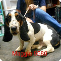 Adopt A Pet :: Maggie - baltimore, MD