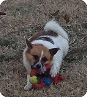 Pictures Of Pomeranian Jack Russell Terrier Mix Kidskunstinfo