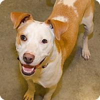 Boxer Mix Dog for adoption in Midlothian, Virginia - China