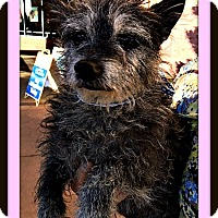 Adopt A Pet :: Haley - Rancho Cucamonga, CA
