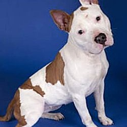 Photo 2 - American Staffordshire Terrier/Pit Bull Terrier Mix Dog for adoption in Chicago, Illinois - China