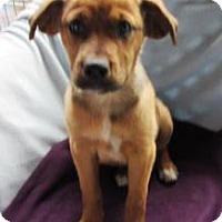 Adopt A Pet :: Rachel - Bartonsville, PA