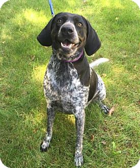 Bluetick Coonhound/Pointer Mix Dog for adoption in Mt. Pleasant, Michigan - Reba