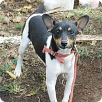 Rat Terrier Dog for adoption in Dale, Indiana - Wiggles