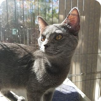 Russian Blue Cat for adoption in Youngsville, North Carolina - Sergei
