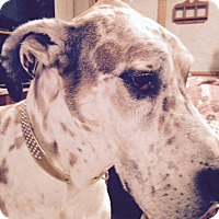Great Dane Dog for adoption in Plymouth, Michigan - Ziva