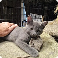 Adopt A Pet :: Bitsy (Russian Blue Mix) - St. Louis, MO