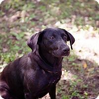 Adopt A Pet :: Coco - Brattleboro, VT