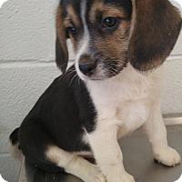 Adopt A Pet :: Reuben - Bryson City, NC