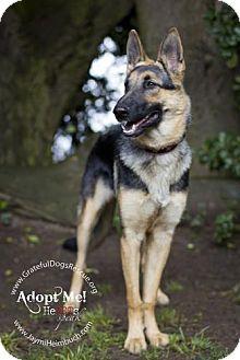 German Shepherd Dog/Belgian Malinois Mix Dog for adoption in San Francisco, California - Layla