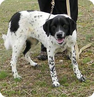 English Setter Mix Dog for adoption in Washington, D.C. - Roxy