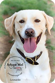 Labrador Retriever Dog for adoption in Scottsdale, Arizona - Leonardo
