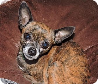 Chihuahua Dog for adoption in Bedford, Texas - Sawyer