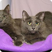 Adopt A Pet :: Bella and Brat - Milford, MA