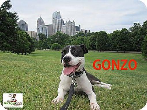 Pit Bull Terrier/Labrador Retriever Mix Dog for adoption in Alpharetta, Georgia - Gonzo