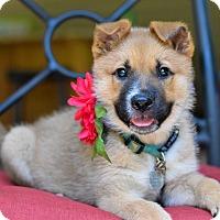Adopt A Pet :: Darcie - Baton Rouge, LA
