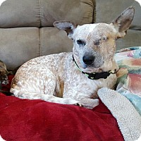 Cattle Dog Mix Dog for adoption in Providence, Rhode Island - Kentucky Bandit in CT