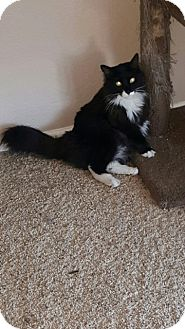 Domestic Mediumhair Cat for adoption in Glendale, Arizona - Boots