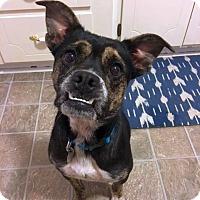 Adopt A Pet :: Perdita - Chattanooga, TN