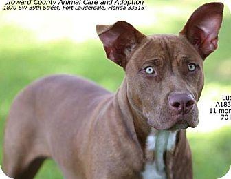 American Staffordshire Terrier Dog for adoption in Hialeah, Florida - Zizo