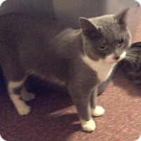 Domestic Shorthair Cat for adoption in Mt Pleasant, Pennsylvania - Simon