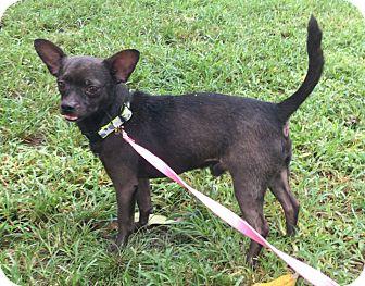 Chihuahua Mix Dog for adoption in Boca Raton, Florida - Waltz