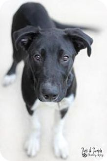 Labrador Retriever/Newfoundland Mix Dog for adoption in Yukon, Oklahoma - Ammo